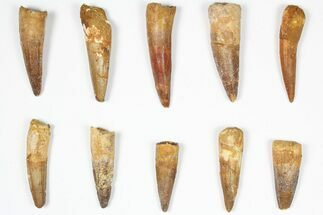 "Buy Wholesale Lot: 1.5-2.5"", Bargain Spinosaurus Teeth - 10 Pieces - #87847"