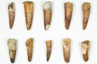 "Wholesale Lot: 1.5-2.5"", Bargain Spinosaurus Teeth - 10 Pieces For Sale, #87848"