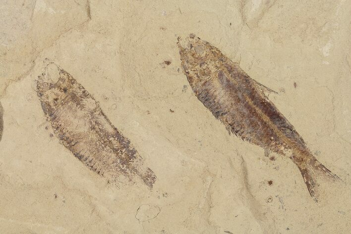 Two Fossil Fish (Gosiutichthys) - Lake Gosiute, Green River Formation