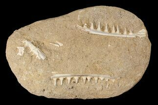 Enchodus Jaw Sections with Teeth - Cretaceous Fanged Fish For Sale, #87998
