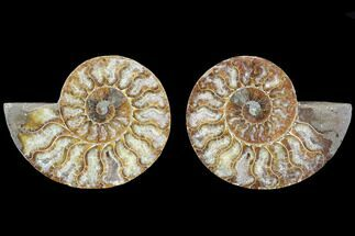 Cleoniceras - Fossils For Sale - #88203