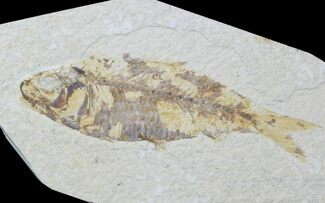 "4.3"" Detailed Fossil Fish (Knightia) - Wyoming For Sale, #88550"
