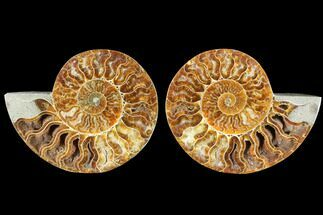 Cleoniceras - Fossils For Sale - #88425