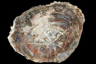 "15.9"" Colorful Petrified Wood (Araucaria) Round - Madagascar  For Sale, #88637"
