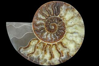 "Buy 6.65"" Agatized Ammonite Fossil (Half) - Madagascar - #88186"