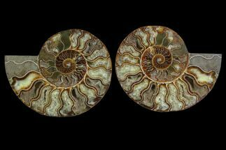 "Buy 6.35"" Cut & Polished Ammonite Fossil - Crystal Chambers - #88174"