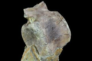 "4"" Hadrosaur Caudal Vertebrae In Matrix - Aguja Formation, Texas For Sale, #88715"
