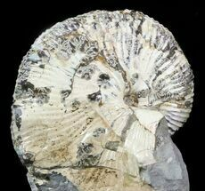 Hoploscaphites brevis - Fossils For Sale - #43938