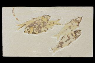 Buy Four Knightia Fossil Fish - Green River Formation, Wyoming - #88537