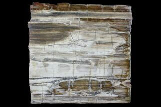 "Buy 11.6"" Polished Madagascar Petrified Wood Slab - Madagascar - #88627"