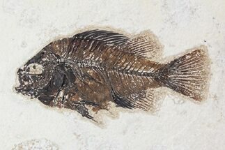 "4.3"" Cockerellites (Priscacara) Fossil Fish - Hanger Installed For Sale, #88781"