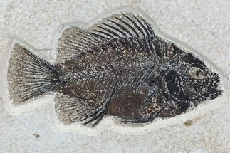 "5"" Cockerellites (Priscacara) Fossil Fish - Hanger Installed For Sale, #88775"