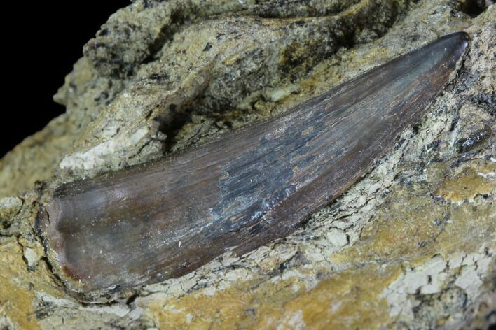 "1.35"" Fossil Crocodilian (Goniopholid) Tooth In Situ - Texas"