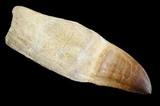"Buy 5.1"" Rooted Mosasaur (Prognathodon) Tooth - #89011"