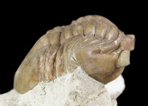 "Buy 1.8"" Asaphus (New Species) Trilobite - Russia - #89065"