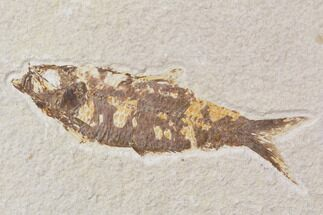 "Buy Bargain, 4.2"" Fossil Fish (Knightia) - Wyoming - #89173"