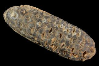 "2.3"" Agatized Seed Cone (Or Aggregate Fruit) - Morocco For Sale, #89192"