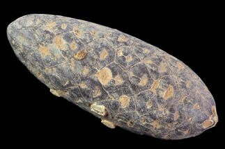 "1.9"" Agatized Seed Cone (Or Aggregate Fruit) - Morocco For Sale, #89198"