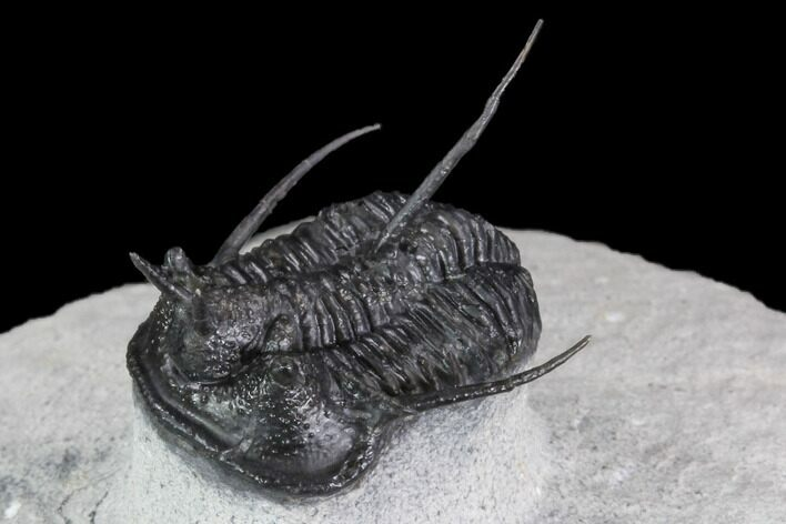 "1.1"" Devil Horned Cyphaspis Walteri Trilobite"