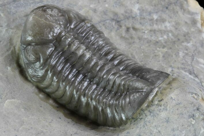 "1.1"" Unusual Phacopid Trilobite With Small Eyes - Jorf, Morocco"