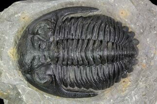 "Buy Detailed, 1.75"" Hollardops Trilobite - Ofaten, Morocco - #89230"