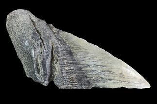 Carcharocles megalodon - Fossils For Sale - #89478
