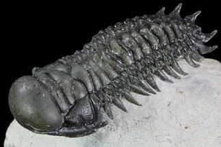 "Buy 2.25"" Crotalocephalina Trilobite - Flying Preparation - #89488"
