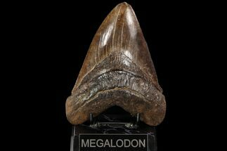 "5.99"" Fossil Megalodon Tooth - Serrated Blade For Sale, #90056"