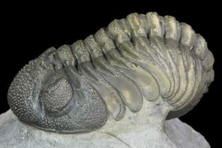 "2.3"" Detailed Barrandeops Trilobite - Beautiful Eyes For Sale, #90020"