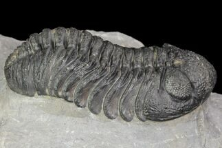 Barrandeops (Phacops) - Fossils For Sale - #90027