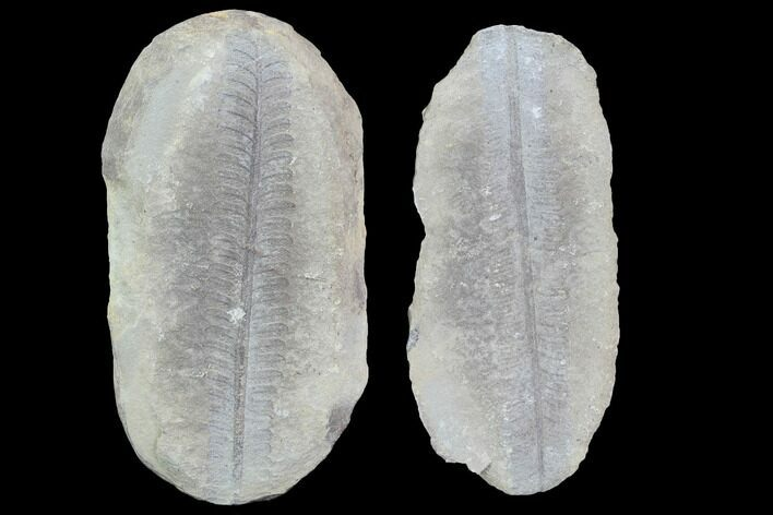 "3.5"" Pecopteris Fern Fossil (Pos/Neg) - Mazon Creek"