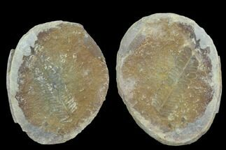 Pecopteris sp. - Fossils For Sale - #89904