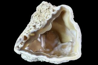 "3.1"" Agatized Fossil Coral Geode - Florida For Sale, #90225"