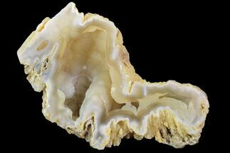 "4"" Agatized Fossil Coral Geode - Florida For Sale, #90210"