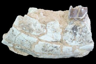 Hyracodon nebraskensis - Fossils For Sale - #90270