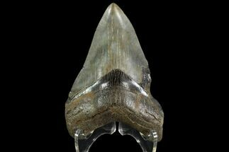 Carcharocles megalodon - Fossils For Sale - #90390