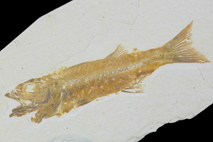 "Detailed, 3.6"" Mioplosus Fossil Fish - Wyoming"