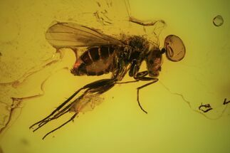 Order Diptera - Fossils For Sale - #90801