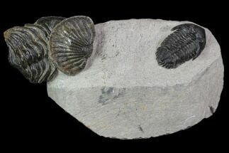 Kayserops, Unidentified Phacopid & Metascutellum - Fossils For Sale - #90720