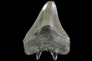 Carcharocles megalodon - Fossils For Sale - #90762