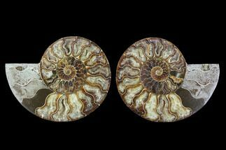 Cleoniceras - Fossils For Sale - #91152