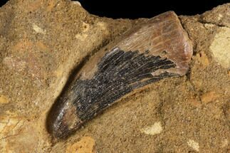 ".71"" Theropod (Raptor) Tooth In Rock - Judith River Formation For Sale, #91376"