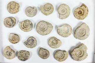 "Buy Wholesale Flat: 2-3"" Jurassic Ammonites From England - 35 Pieces - #91429"