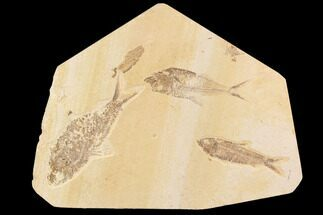 Diplomystus dentatus, Knightia eocaena - Fossils For Sale - #91584