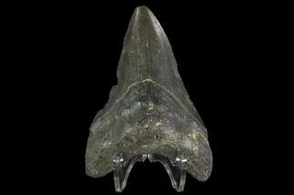 "Buy Bargain, 3.81"" Fossil Megalodon Tooth - North Carolina - #91636"