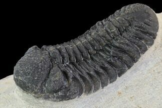 "Buy Bargain, 2.1"" Barrandeops Trilobite - Foum Zguid, Morocco - #91912"