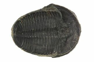 "Large, 1.47"" Elrathia Trilobite Fossil - Utah For Sale, #91865"