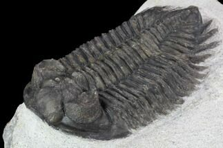 "Bargain, 2.2"" Coltraneia Trilobite Fossil - Huge Faceted Eyes For Sale, #92120"