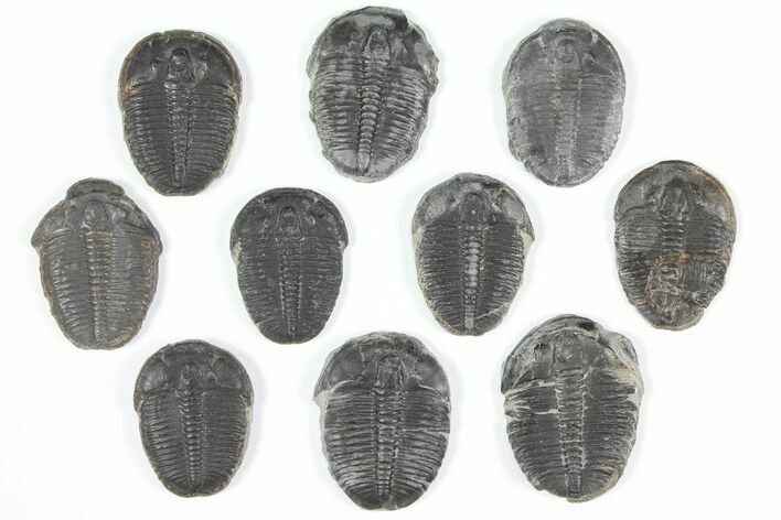 "Wholesale Lot: 1"" Elrathia Trilobites - 10 Pieces"