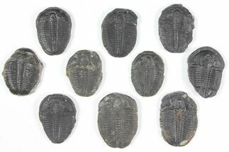 Elrathia kingii  - Fossils For Sale - #92082